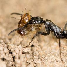 Savaşta Yaralanan Arkadaşlarının İmdadına Hızır Gibi Yetişen Matabele Karıncaları