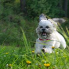 Günlük Hayatta Mutlaka Şahit Olduğumuz Bir Durum: Süs Köpeği Özgüveni