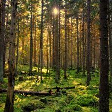 Ağaçlar Kendi Aralarında Gizliden Gizliye Nasıl İletişim Kuruyor?