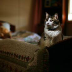 Huzurevinde Ölecek Olan Kişiyi En Geç 24 Saat Önceden Tahmin Edip Yanına Kıvrılan Kedi: Oscar