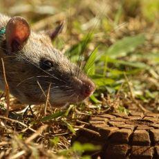 Mayın Dedektöründen Daha Hızlı Bir Şekilde Mayınların Yerini Tespit Edebilen Hayvan