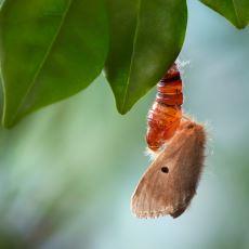 İmparator İpek Böceklerinin Türlerinin Devamı İzledikleri Saygı Duyulası Yol