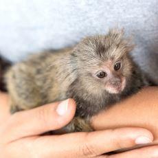 Tecrübe Etmiş Birinin Anlatımıyla: Evde Maymun Beslemek