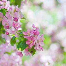 Japonya'da, İzlemenin Özel Bir Gelenek Olduğu Kiraz Çiçeği: Sakura