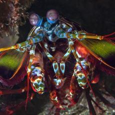 Muazzam Gözleri ve 50 Kg'lık Yumruğuyla Dünyanın En Müthiş Canlılarından Biri: Mantis Karidesi