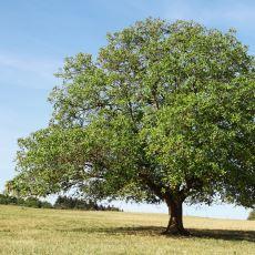 Ceviz Ağacının Altında Neden Oturulmaz ve Pek Bitki Yetişmez?