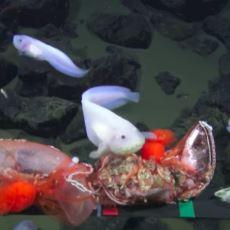 Dünyanın En Derin Noktası Mariana Çukuru'nda Görüntülenen Acayip Balık Türleri