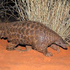 Koronavirüsün Kaynağı Olduğu Düşünülen İlginç Hayvan: Pangolin