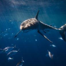 Köpekbalıkları Hakkında Doğa ve Hayvanlara Olan Şaşkınlığınızı Artırması Muhtemel İlginç Bilgiler