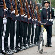 Norveç'te Tuğgeneral Rütbesi Verilen Penguen Kraliyet Muhafızlarını Teftiş Etti