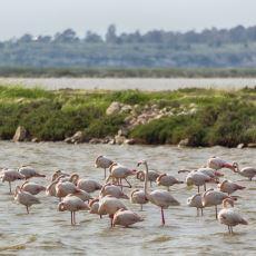 Avrupa'daki Flamingoların %30'una Ev Sahipliği Yapan Gediz Deltası Yok Olma Tehlikesiyle Karşı Karşıya