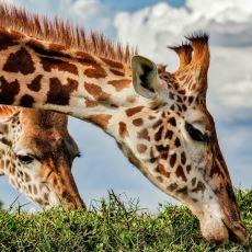 Zürafalar Hakkında Birbirinden İlginç Bilgiler
