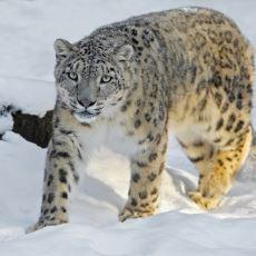 Estetikle Vahşiliği Aynı Potada Eritmiş Muhteşem Bir Hayvan: Kar Leoparı
