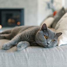 British Shorthair Kedinin Özellikleri Nelerdir?