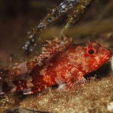 Denizde Zehirli, Tabakta Lezzetli Bir Balık: İskorpit
