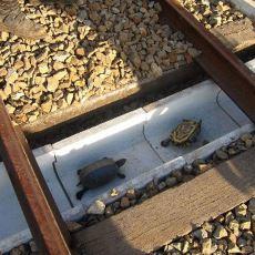 Tren Raylarına Özel Yol İnşa Ederek Kaplumbağa Ölümlerinin Önüne Geçen Koca Yürekli Japonlar