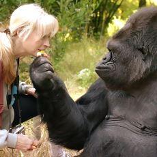 İşaret Dilini Konuşabilmesiyle Büyük Üne Kavuşan Efsane Goril: Koko