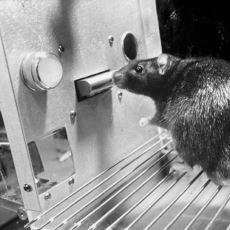 Hayvanların da Batıl İnançları Olabileceğini Dahice Kanıtlayan Deney: Skinner'ın Kutusu