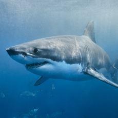 Dünya Üzerindeki Akvaryumlarda Neden Hiç Büyük Beyaz Köpek Balığı Bulunmaz?