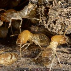 Olağanüstü İnşaat Yeteneğiyle Hayranlık Uyandıran İlginç Böcek: Termit