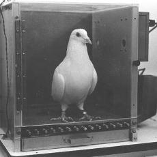 Hurafelerin Ortaya Çıkışına Dair Çok Net Fikir Veren Deney: Güvercin Hurafesi