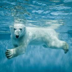 Bütün Memeliler Su Üzerinde Kalıp Belirli Mesafe Yüzebilirken Şempanze ve İnsanlar Neden Sonradan Öğreniyor?