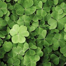 İrlanda'nın Resmi Sembolü Olarak Bilinen Üç Yapraklı Yonca: Shamrock