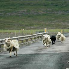 Yıllar Geçse de Unutulmayan Yaran Olaylardan Biri: Koyunlardan Kaçarken Sürüyü Özgürlüğüne Kavuşturmak