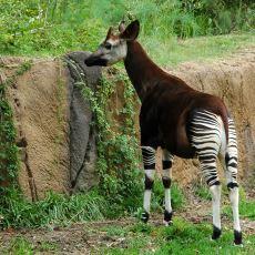 Zürafanın Tek Akrabası: Zebraya Benzeyen Bacaklarıyla İnsanı Şaşırtan Gizemli Hayvan Okapi