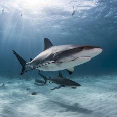 Diğer Balıkların Aksine Köpek Balıklarının Suda Batmamak İçin Sürekli Yüzmesi