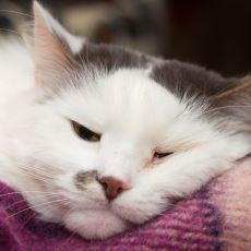 Tedbir Alınmadığı Halde Hayati Tehlike Boyutuna Gelebilecek Kedi Gribi Nedir?