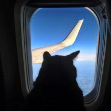 Uçaktan Atılan Bir Kedinin Yaşama Şansı Var mıdır?