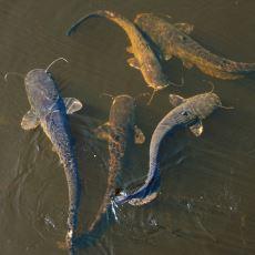 150 Kiloya Varabilen Ağırlığıyla Tatlı Suların En Büyüklerinden Biri: Yayın Balığı