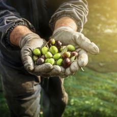 Daha Lezzetli ve Doğal Zeytin Yeme İmkanı Sunan Zeytin Kurma İşlemi Nasıl Yapılır?