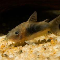 Pislikleri Yiyor Sanılıp Hakir Görülen Çöpçü Balığı Hakkında Az Bilinenler
