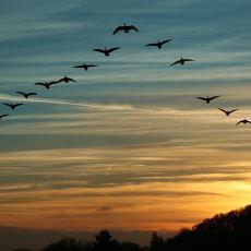 Göçmen Kuşların Ters 'V' Şeklinde Uçması