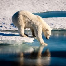 Korkutucu Bir Doğa Olayı: Bir İnsanın Kutup Ayısı Ciğeri Yemesi Halinde Kayıtsız Şartsız Ölmesi