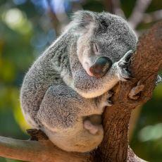 Dünyanın En Çok Uyuyan Hayvanları