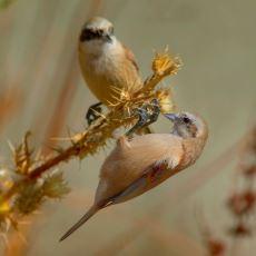 Erkek Çulha Kuşlarının Sevişebilmek Adına Gösterdiği İnanılmaz Azim