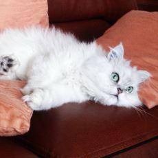 Evde Beslemek İçin En Uygun Kedi Türleri