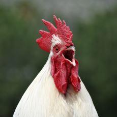 Tavuk Etine Göre Daha Sert Olan Horoz Eti Hakkında Merak Edilenler