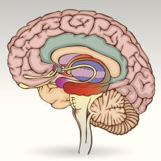 Ruh Hali Dediğimiz Şeyden Sorumlu Olan İlkel Beyin Ağı: Limbik Sistem