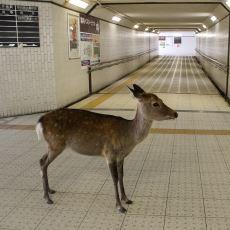 Pandemi Döneminde İnsansız Ortamların Tadını Çıkaran Hayvanların Görüntüleri