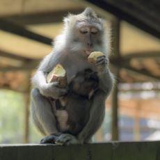 Canlıların Bilinç Seviyesiyle İlgili İlginç Fikirler Veren 100. Maymun Fenomeni Nedir?