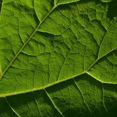 Bitkiler Neden Yeşildir?