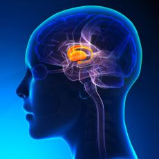 Uyuma-Uyanma Gibi Rutinleri Düzenleyen Beynin En İlkel Bölümlerinden Biri: Talamus