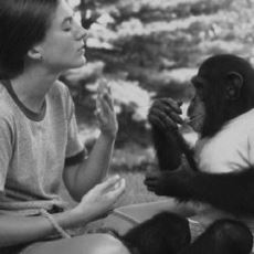Amerika'da Şempanzeye İşaret Dilini Öğreten Psikologlar