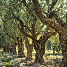 Yanından Geçip Gittiğiniz Ağaçlara Bakışınızı Güncelleyecek Güzel Bilgiler