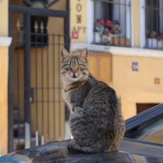 Kediler, Onlara Pisi Pisi Denildiğinde Neden Tepki Verir?