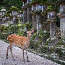 Her Yerde Dolaşan Geyikler Görebileceğiniz Tapınaklarıyla Büyüleyen Bir Japon Şehri: Nara
